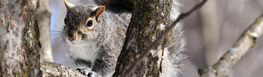 grey squirrel on bark