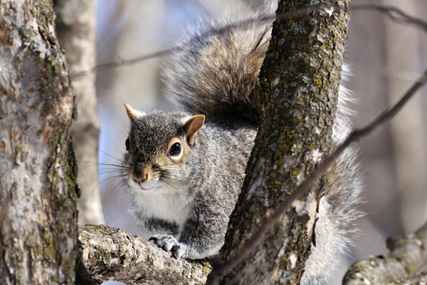 Squirrels Damage Forestry And Roofing We Eliminate Them